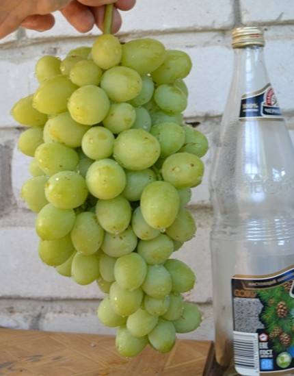Виноград дашуня, дарья, дашенька
