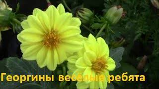 Георгины однолетние: история и описание растения, сорта цветка, посадка способы выращивания и уход