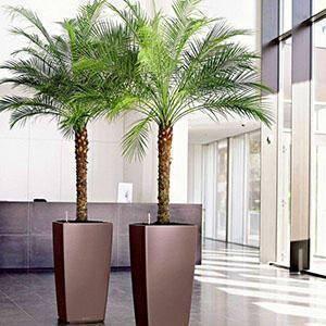 Финиковая пальма: уход в домашних условиях, выращивание из косточки