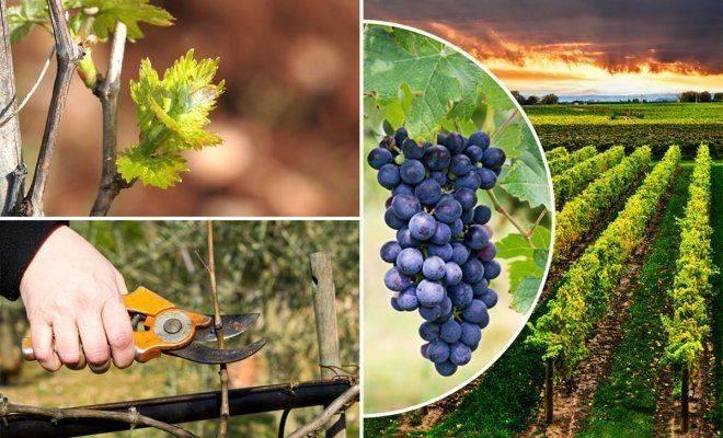 Уход за виноградом весной начинающим, видео