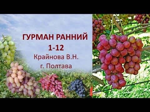 Виноградный сорт гурман ранний - агро журнал dachnye-fei.ru