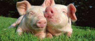 Как организовать опорос свиней в первый раз
