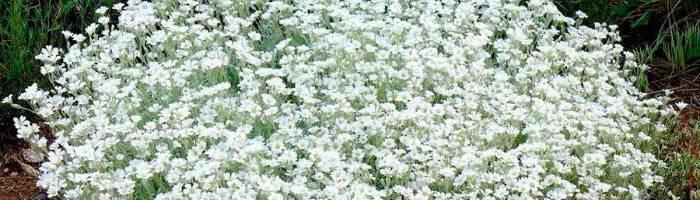 Ясколка: виды и сорта с фото, посадка и уход в открытом грунте