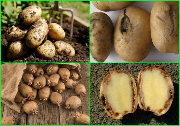 Как хранить картошку зимой в квартире и погребе: правила и лучшие способы, сроки