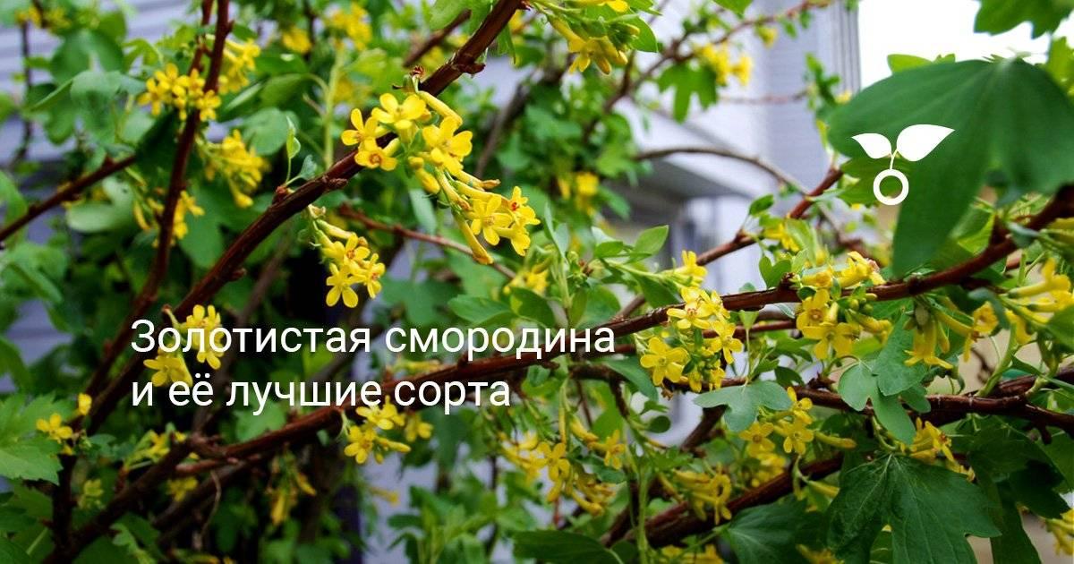 Смородина золотистая: описание, применение, выращивание