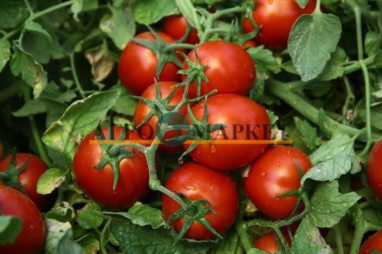 Томат чибли f1: описание, характеристика, выращивание, отзывы