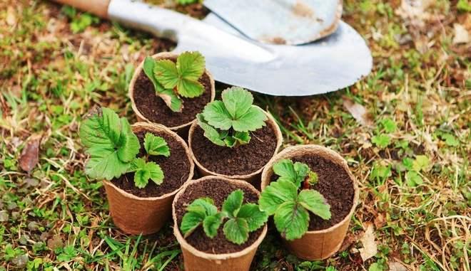 Выращивание земляники на подоконнике легко и просто