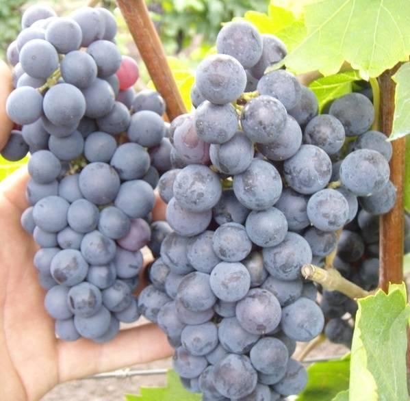 «левокумский» — технический сорт винограда