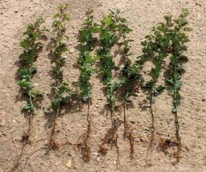 Размножение боярышника – вегетативное и генеративное