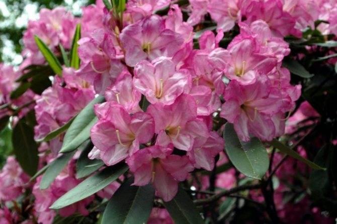 Рододендрон: размножение, посадка и уход в открытом грунте
