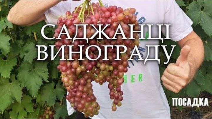 Польза употребления винограда в пищу для человека, полезные свойства ягод, возможный вред для здоровья организма