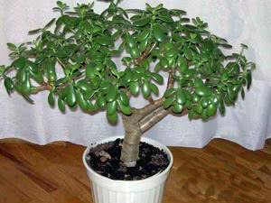 Денежное дерево (толстянка): уход в домашних условиях, цветение