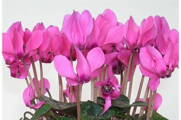 Цветок цикломения: уход, пересадка после покупки, разведение, описание с фото и советы - sadovnikam.ru