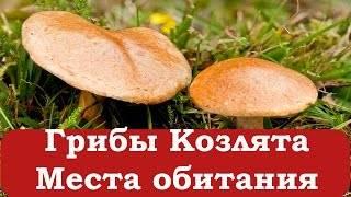 Козленок гриб съедобный или нет. сравнение гриба козлёнка с перечным грибом