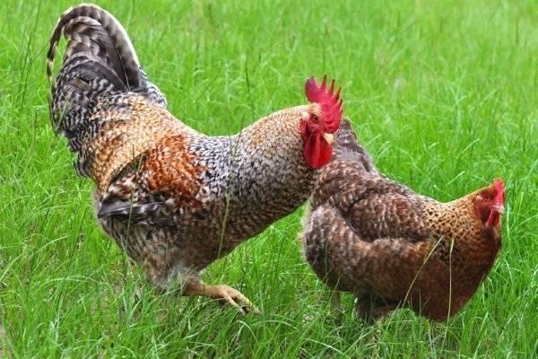 Билефельдер: порода кур, описание, виды, особенности разведения и питания