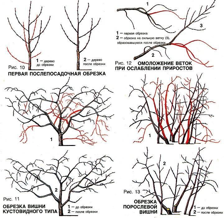 Когда обрезают плодовые деревья: сроки обрезки весной и осенью