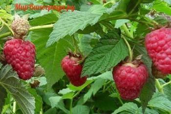 О малине киржач: описание и характеристики сорта, особенности по уходу