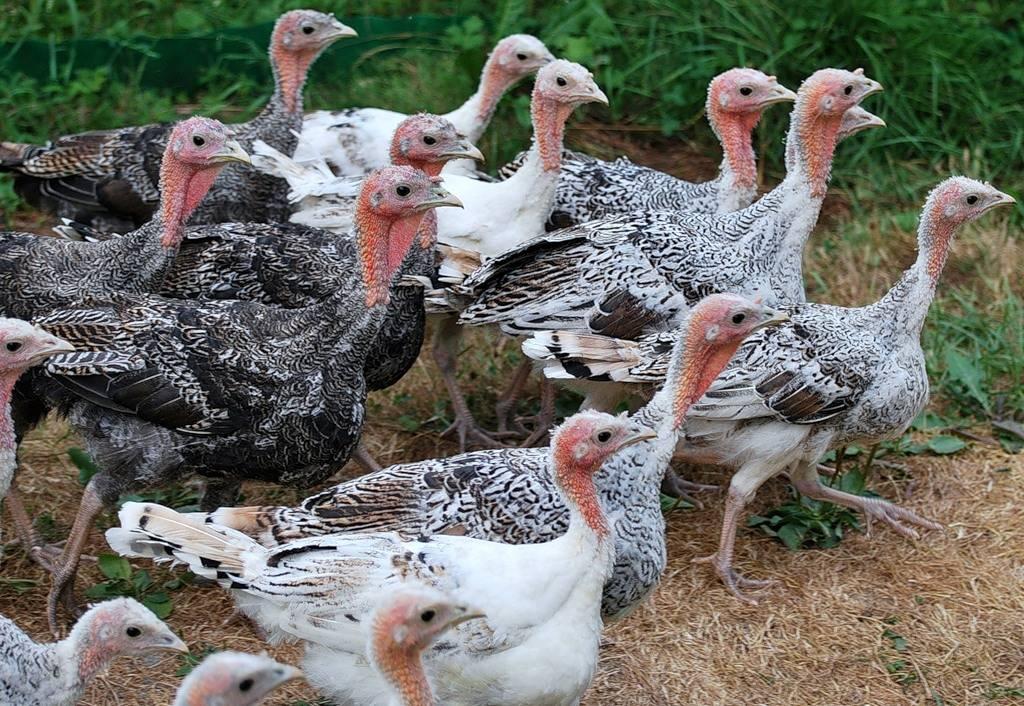 Что можно давать индюкам: правила питания птиц