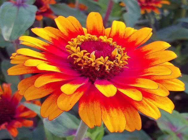 Циния: выращивание, посадка и уход, виды и сорта
