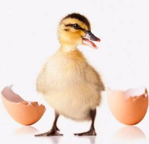 Основные нормы, сроки и правила инкубации индоутиных яиц в инкубаторе