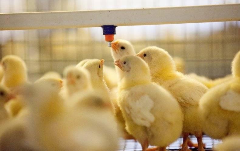 Антибиотики для кур – ответы на вопросы