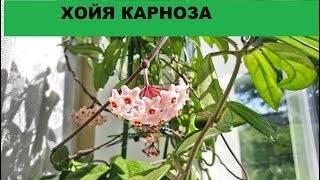 Хойя комнатная - уход, фото, цветение, размножение