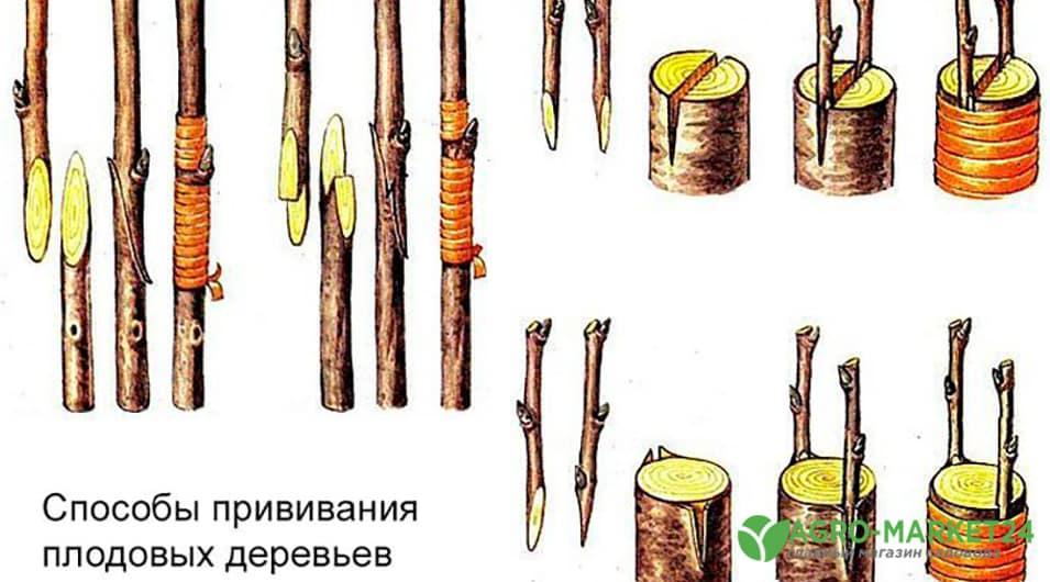 Прививка деревьев: подготовка черенков и необходимые инструменты | cельхозпортал