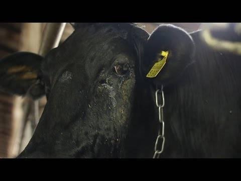 Причины глистов у бычков