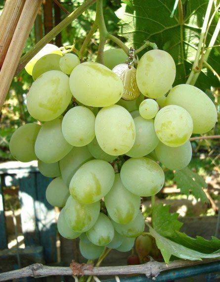 Описание и характеристики сорта винограда подарок запорожью, преимущества, недостатки и выращивание