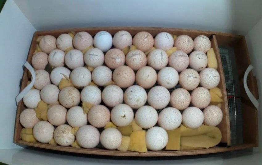 Овоскопирование куриных яиц: что это, как проводят его во время инкубации (фото по дням)? selo.guru — интернет портал о сельском хозяйстве
