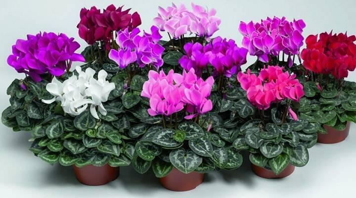 Цикламен - выращивание и уход за цветком в домашних условиях