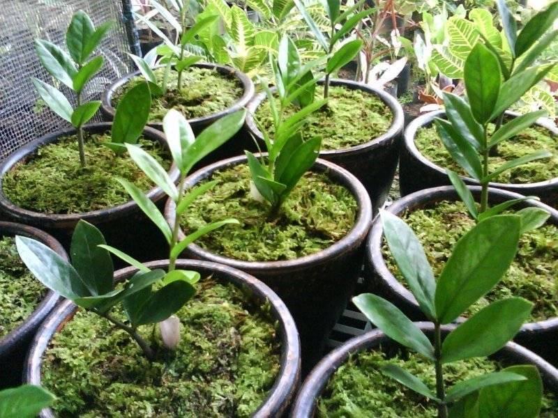 Замиокулькас —  размножение в домашних условиях