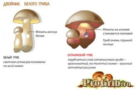 Гриб подберезовик фото и описание. ложный подберезовик
