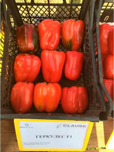 Перец геракл: характеристика и описание сорта с фото, отзывы о семенах и урожае, особенности выращивания.