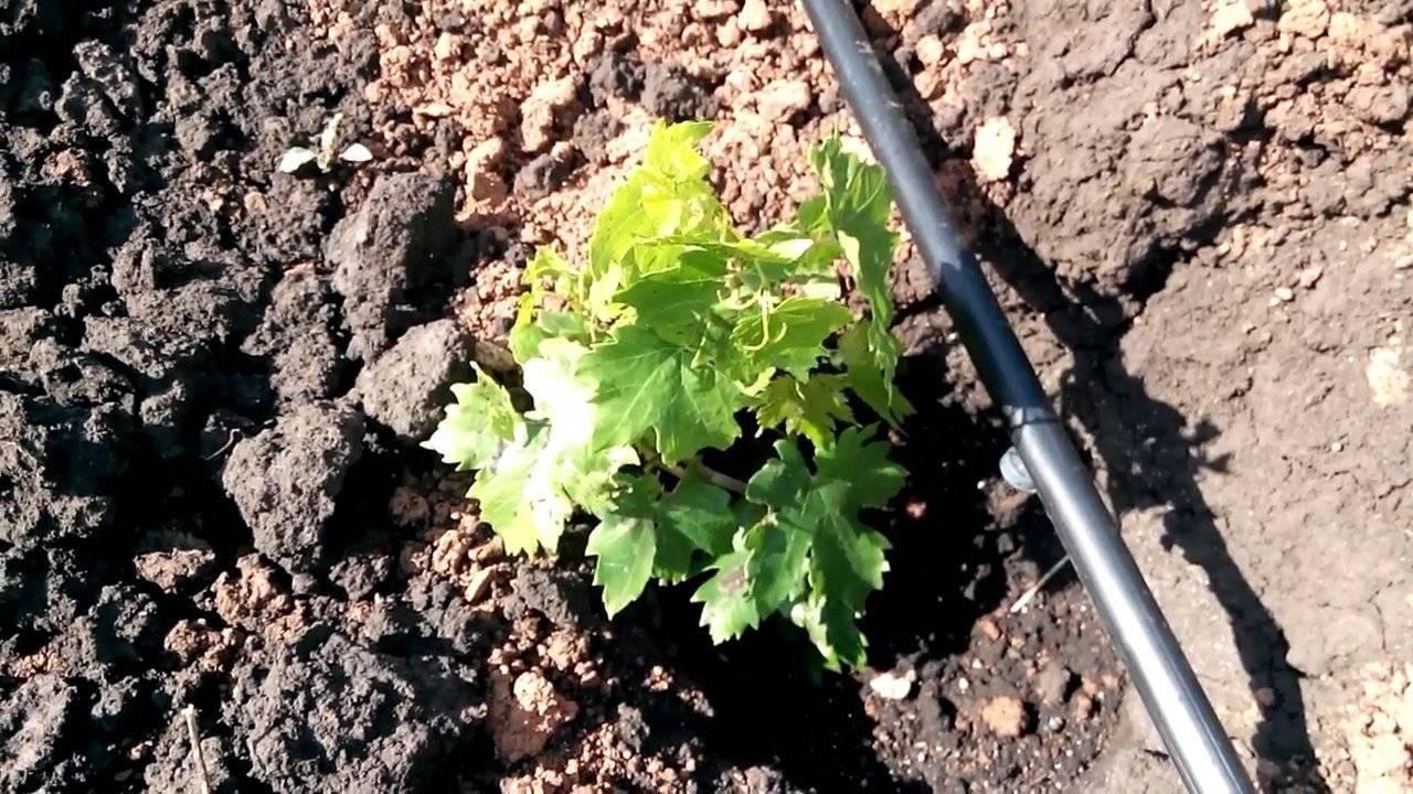 Описание винограда сорта рута с отзывами садоводов любителей
