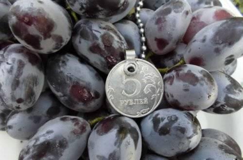 Виноград ромбик — описание сорта, фото, отзывы, видео.