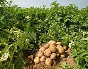 Уход за картофелем во время и после цветения