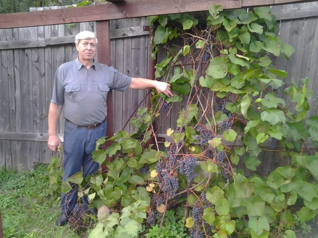 Амурский потапенко виноград описание, сорт амурский потапенко