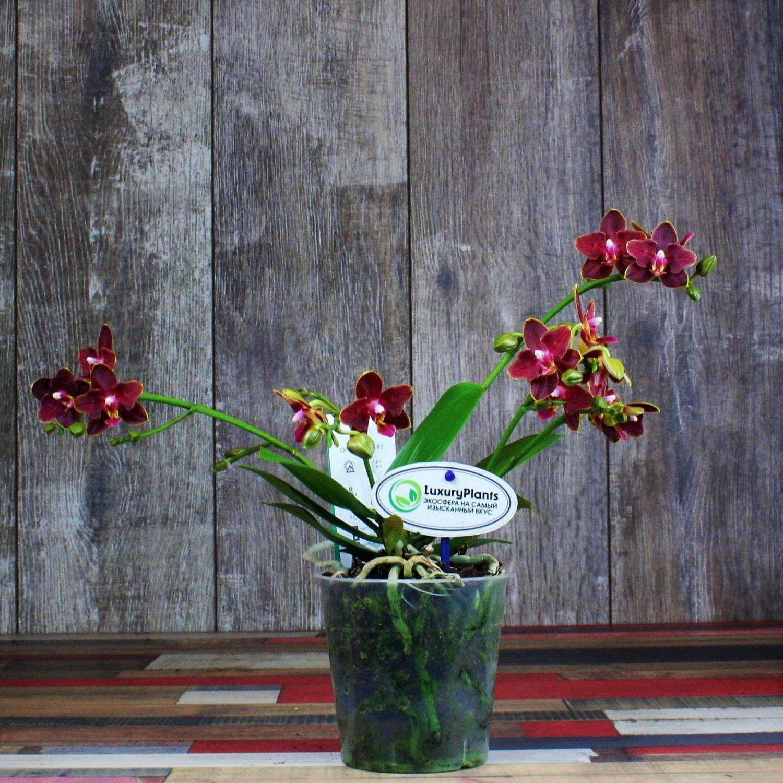 Что стоит знать о бордовых орхидеях? история селекционирования, сорта, их фото и рекомендации по уходу