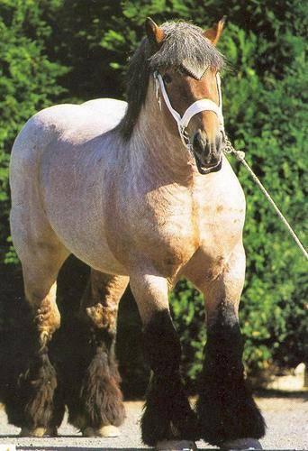 Лошади с толстыми ногами. тяжеловозы — богатыри в мире лошадей