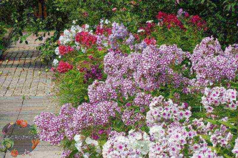 Флоксы многолетние - посадка и уход, выращивание, болезни