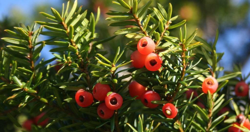 Тис: посадка и уход в открытом грунте, выращивание, фото и виды
