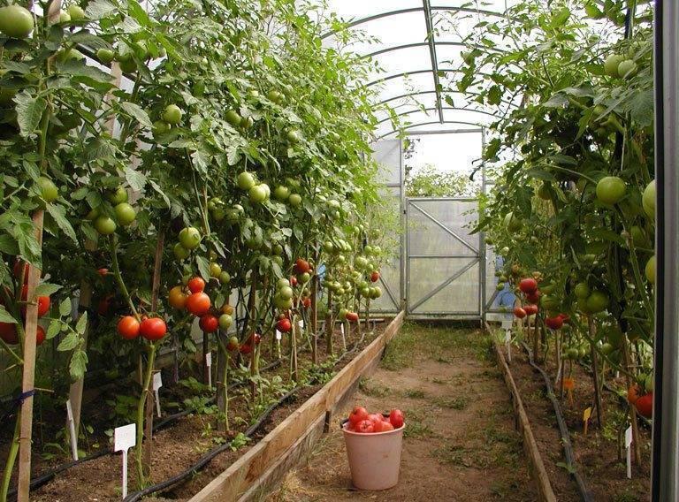 Как вырастить хороший урожай помидоров в теплице для начинающих