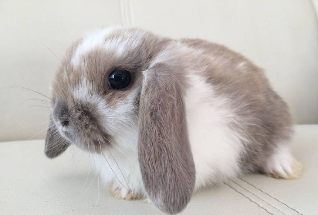 Кролик породы карликовый баран (34 фото): описание породы, особенности голландских вислоухих, черноостевых и других разновидностей. какой средний размер взрослого кролика?