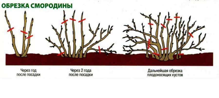Как обрезать черную смородину осенью