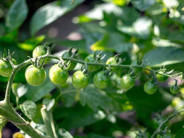 Помидоры свит черри f1: характеристика и особенности выращивания