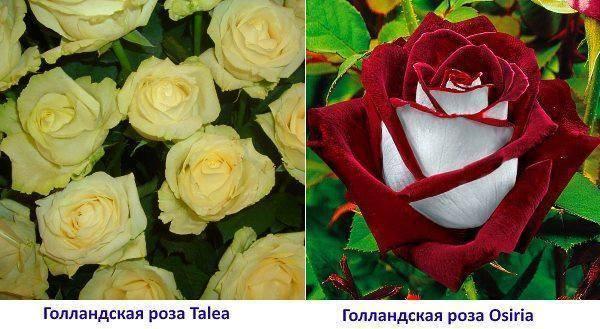 Роза флорибунда посадка и уход, фото и описание сортов, выращивание и размножение, болезни и удобрения