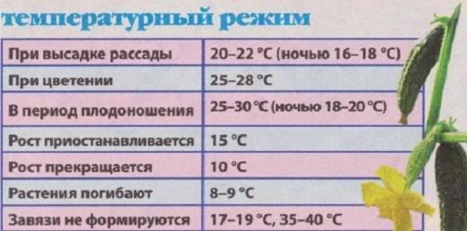Какая оптимальная температура в теплице для огурцов