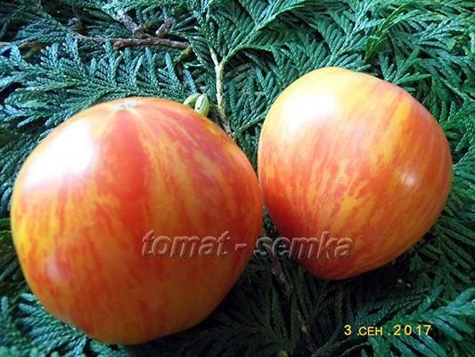 Немного о некоторых сортах томатов на конец июля: дневник пользователя ahmgalina