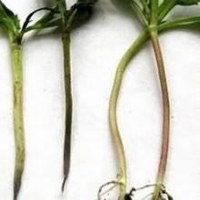 Заболевание рассады черной ножкой, или гниль корневой шейки сеянцев: как спасти рассаду